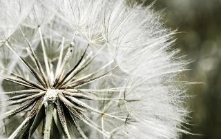 dandelion-431079_1920